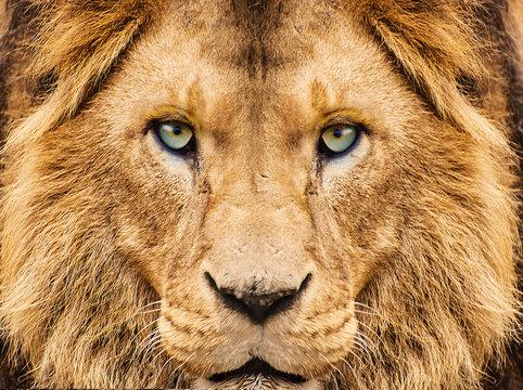 close up of a lion looking at camera
