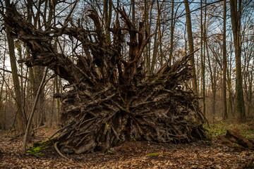Fototapeta ogromny korzeń drzewa przewróconego obraz