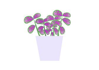 Fototapeta kwiat, fittonia, piękno, bagno, kolorowy, różowy, pasja, hobby, kwiatki, dom , ogród, balkon, taras, rabata, sad, działka, ogrodnik, kwiaciarnia obraz