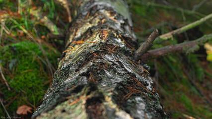 piękny konar drzewa brzoza