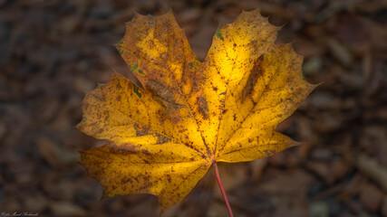 piękny jesienny liść klonu