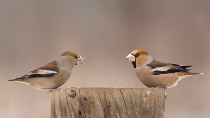 Bird male and female Hawfinch Coccothraustes coccothraustes in the winter forest