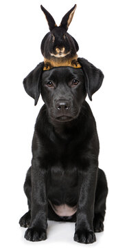 Labrador retriever puppy with a rabbit on his head isolated on white background