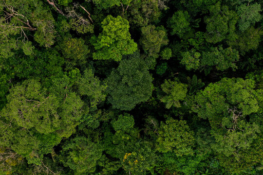 Aerial top view of a tropical forest canopy from a medium height showing many different tree species
