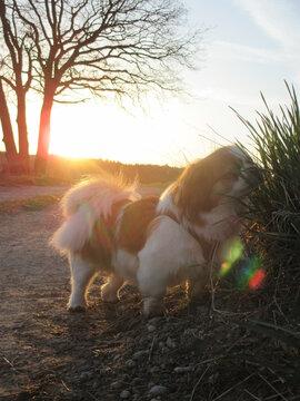 Kleiner Hund bei Sonnenaufgang am Waldrand - Wiese, Feld, Acker, Natur, Wald, Bäume, Tibet Spaniel, Tibetan Spaniel