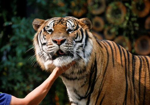 A man pets a tiger in a tiger zoo in Chiang Mai