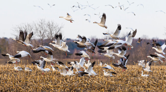 Flock of migrating snow geese heading north in spring in Canada