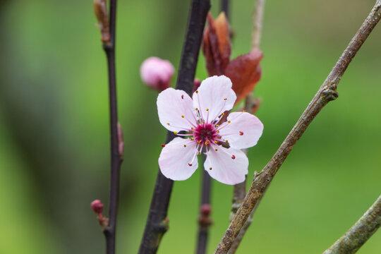 Prunus flower in a garden