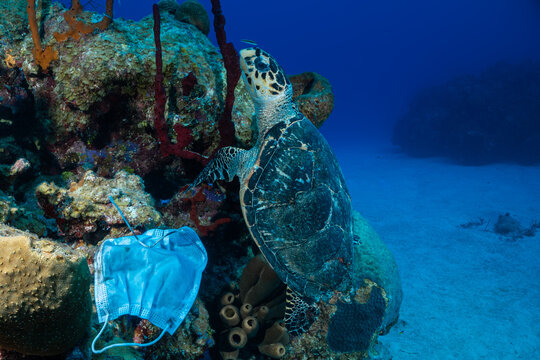 Carelessly discarded PPE equipment used during the coronavirus pandemic has found its way onto a tropical reef and is damaging the environment. A turtle swims nearby the face mask looking for food
