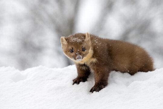Marten on white snow