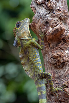 Angle head lizard ( Gonocephalus bornensis ) on a tree trunk