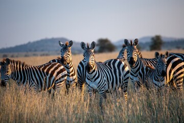 zebras in serengeti park