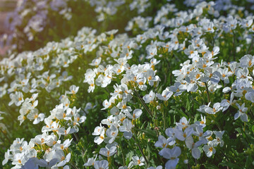 Spring flowers in the park. White flowers in the spring on the garden bed Wall mural