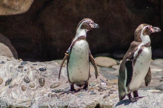 Pingüinos en el mar