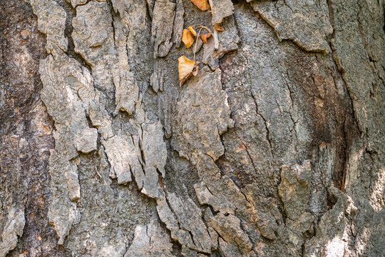Magnolia grandiflora bark background. Textured bark of old tree