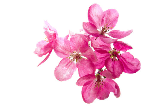 Bright pink cherry tree flowers on white isolated background close up