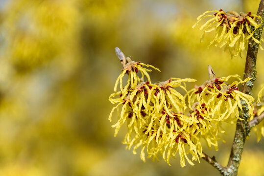Closeup of Witch Hazel in bloom with bright yellow flowers, as a nature background