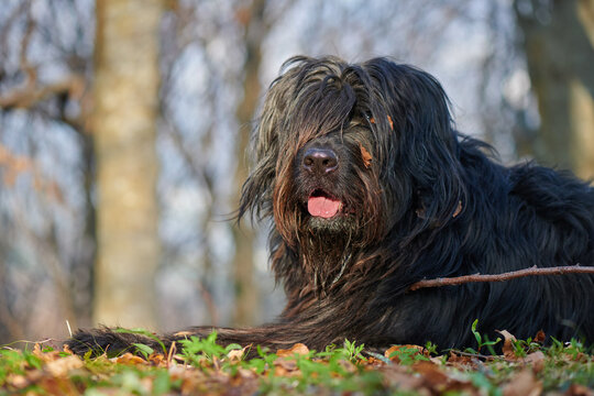 Portrait of bergamasco shepherd dog in the woods