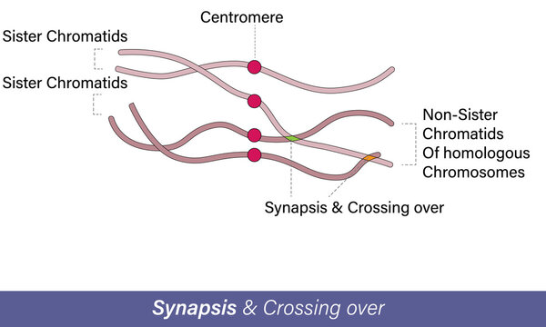 Crossing over Genetic material, recombination of DNA process. meiosis mechanism vector,
