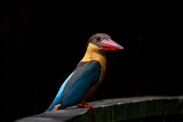 Stork-billed kingfisher looking at the camera with black background.