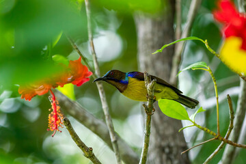 Male Brown-throated sunbird reaching out toward the Hibiscus flower.
