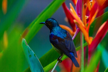 Vertical image of Male Brown-throated sunbird perching on the flower.