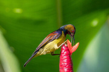 Male Brown-throated sunbird drinking nectar from the flower.
