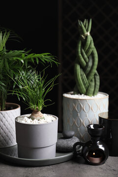 Beautiful Sansevieria, Nolina and Chamaedorea in pots with decor on grey table. Different house plants