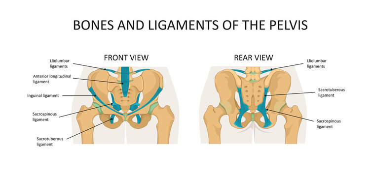 Bones and ligaments of the pelvis