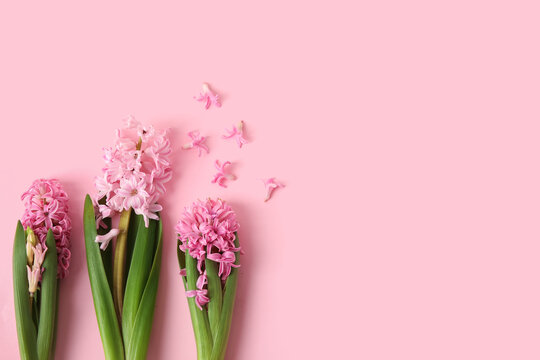 Beautiful blooming hyacinth plants on color background