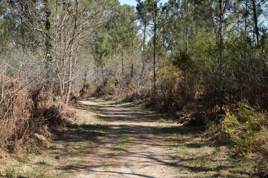 Beautiful path though in woodland forest pathway in pine trees in hostens Gironde France