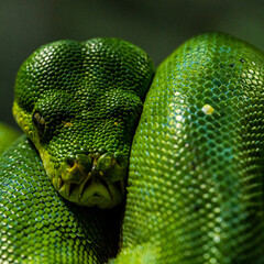 Face close up of Green tree python
