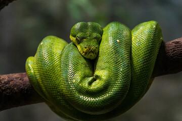 Green tree python coils on the tree.