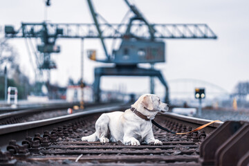 Portrait of a dog on railroad tracks. Labrador Retriever.