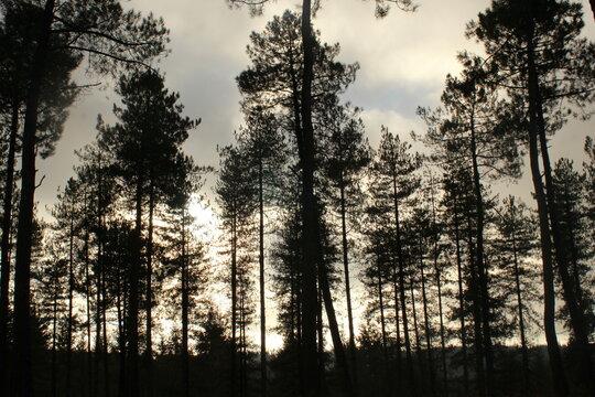 Forêt de conifères dans la Sarthe