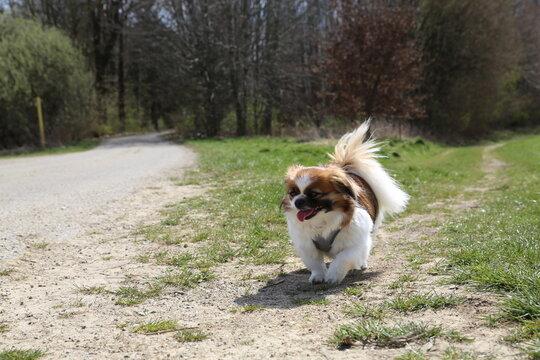 Kleiner Hund geht spazieren - Feld, Wiese, Wald, Tibet Spaniel, Tibetan Spaniel
