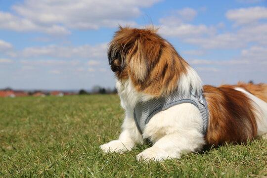 Kleiner Hund liegt auf der Wiese und ist wachsam - Tibet Spaniel, Tibetan Spaniel, ausruhen, Natur, blauer Himmel