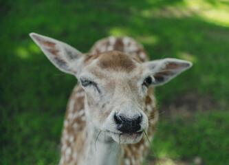 roe deer face