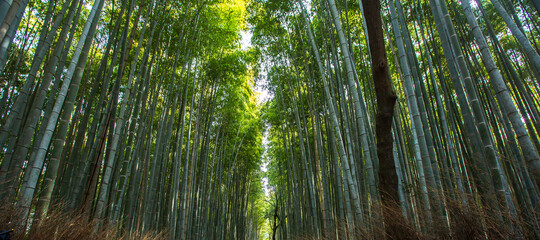bamboo forest in the morning , Kyoto Japan