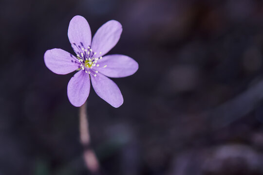 Close- up of flower .Hepatica nobilis in the wood