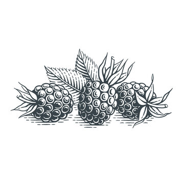 Blueberries. Hand drawn engraving style vector illustration.