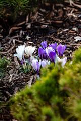 krokusy, wiosna, ogród, garden, wiosna w ogrodzie,  piękny ogród,