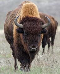Amerikaanse bizonkudde in de regen. Buffalo hoofd close-up.