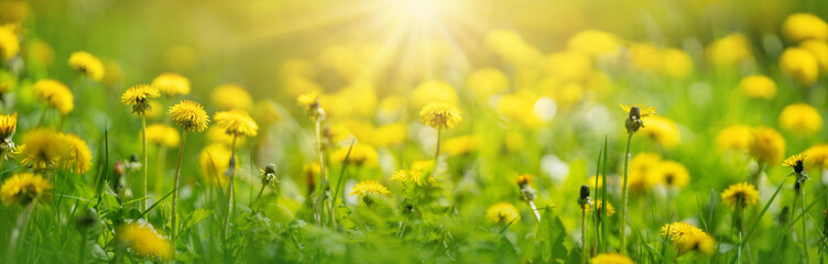 Fototapeta Beautiful yellow dandelions on the spring field.