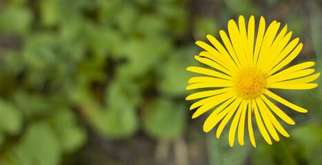 Obraz Żółty kwiat Malephora - fototapety do salonu
