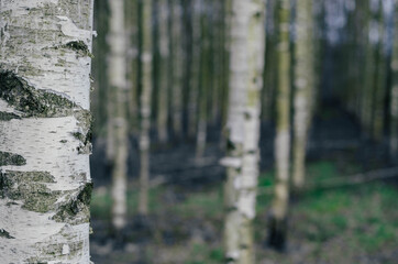 Birch moody forest.