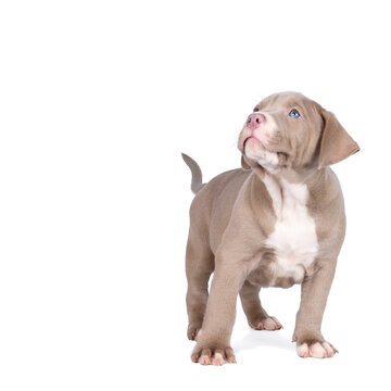 Purebred American Bully or Bulldog pup with beige and white fur looking up isolated on a white background