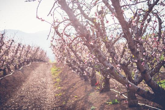 Peach tree flowers bloom at sunset