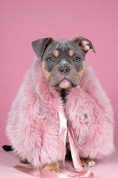 Portrait of a cute old english bulldog puppy wearing a fur coat on a pink background