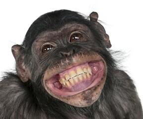 Obraz close up of a chimpanzee,portrait of monkey,crazy fun smile monkey. - fototapety do salonu